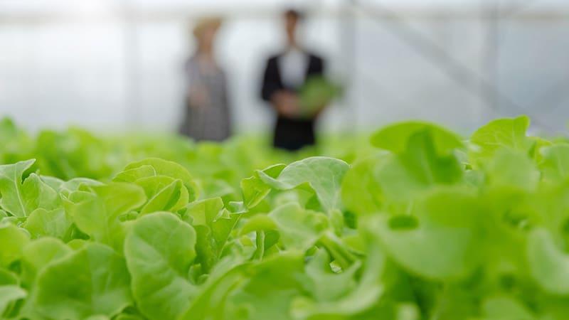 Человек продает зеленый салат выращенный в теплице