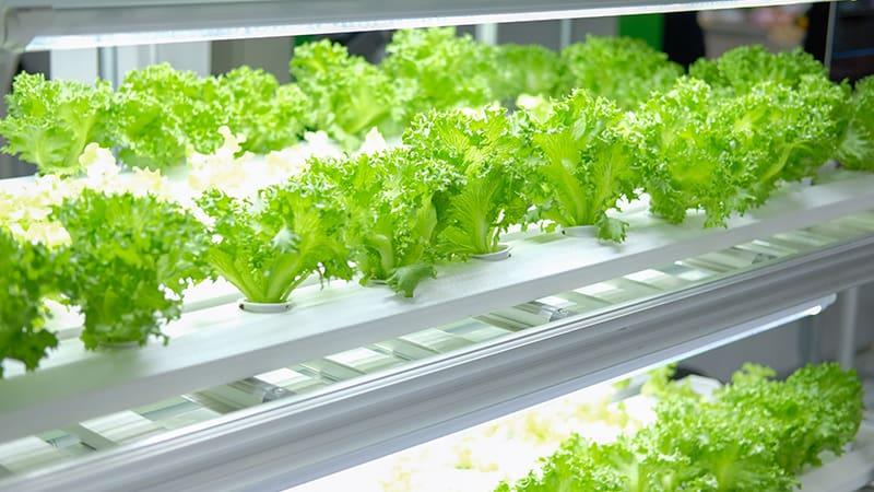 Зеленый салат выращенный на вертикальной ферме