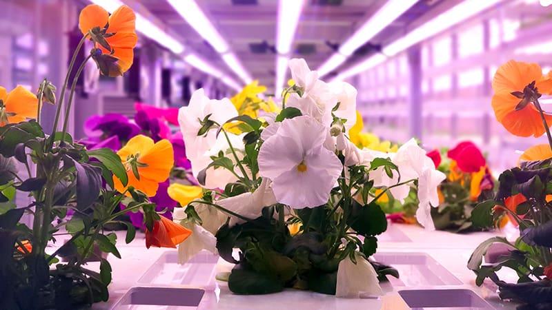 Процесс выращивания цветов на вертикальной ферме методом проточной гидропоники