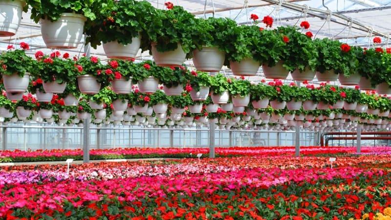 Промышленное выращивание цветов на гидропонике