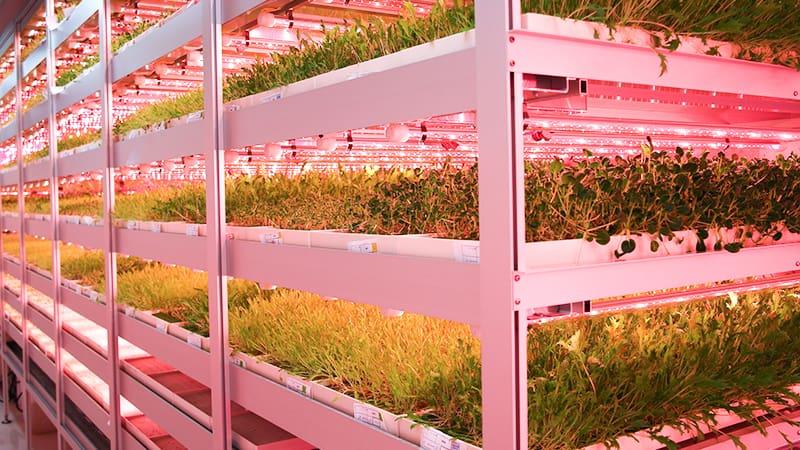 Безвредная зелень формата бэби лиф выращенная на вертикальных фермах