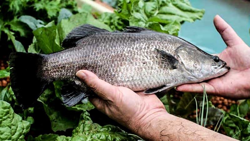 Рыба выращенная в воде, которая поливает растения методом аквапоники